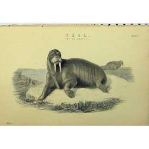 C1890 Seal Tusks Wild Animals Nature Antique Print: Home