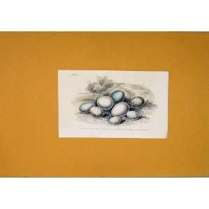 Hand Colored Antique Print C1854 Wild Birds Eggs Finch