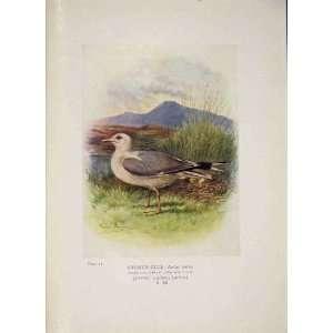 Common Gull Bird Egg Colour Antique Old Print Fine Art