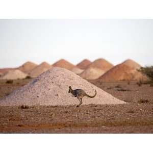 Kangaroo in Opal Mining Area in Coober Pedy in the South