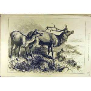 1880 Stag Deer Wild Animal Sport Print