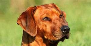 RHODESIAN RIDGEBACK PUPPY DOG LICENSE PLATE / AUTO TAG