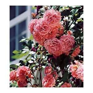Dream Weaver Climbing Rose Patio, Lawn & Garden