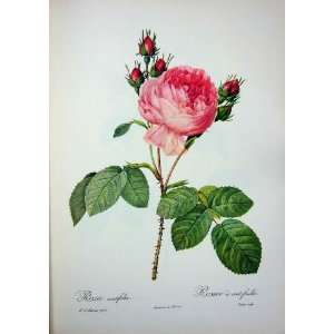 1959 Roses Flowers Rosa Centifolia Pink Green Leaves: Home
