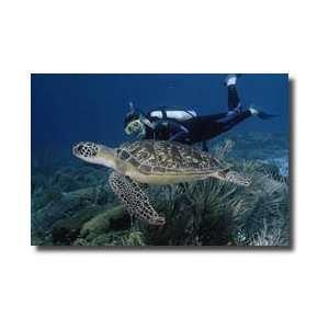 Green Sea Turtle Iii Bonaire Island Netherlands Antilles West Indies