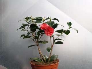 Japanische Kamelie Mathotiana Rubra, kräftige Pflanze 50 60 cm im 3