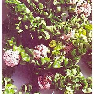 Hindu or Indian Rope Plant   Hoya   Exotic yet Easy   3