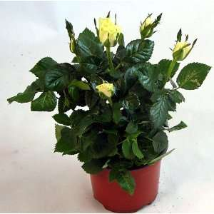 Victory Miniature Rose   Grow Indoors or Out Patio, Lawn & Garden